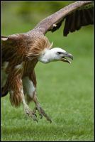 Griffon Vulture II by nitsch
