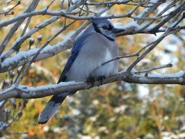 bluejay after breakfast by Lou-in-Canada