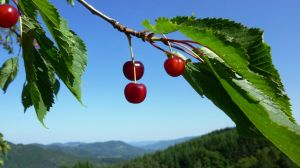 ...Three Cherries... by AdMalamCrucem