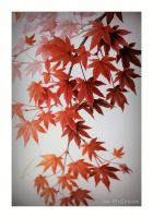 Acer delight . by 999999999a