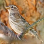 Another rock sparrow by Jorapache