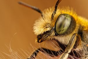 Male Mason Bee Portrait II by dalantech