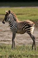 cute baby zebra by demi2004