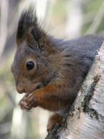 squirrel by pekauppi