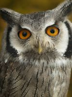 scops owl by mk-thommo