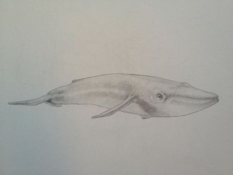 Blue Whale by donyon