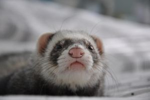 Ferret by Metallica5477