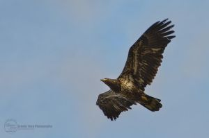Eagle Soaring in the Sky by sweetcivic