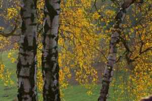Birch Trees by Eiande