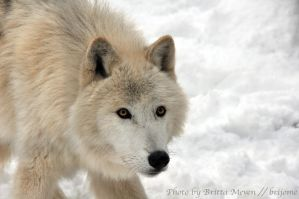 Arctic wolf 2 by brijome