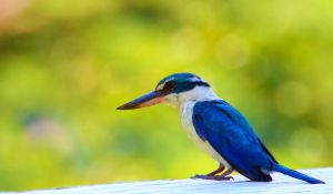Collared Kingfisher by chewygummies