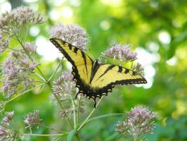 Tiger Swallowtail Butterfly 5 by NemoNameless