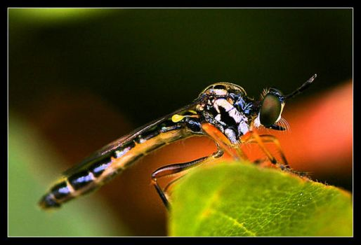 Sort of mosquito by gulbagge