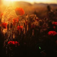 Poppies 3 by wienwal