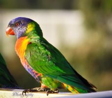 Lorikeet by midnightrider79