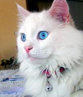 Angora Cat by kouros1