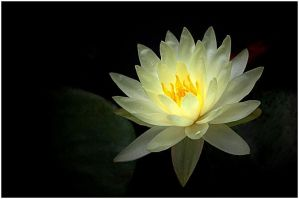 YELLOW WATERLILY by THOM-B-FOTO