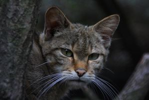 European Wildcat II by Saromei