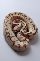 Baby Ball Python 2 by FearBeforeValor