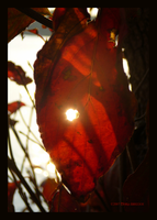Sun Through Red Leaf by Mogrianne