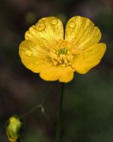 buttercup by bambi1964