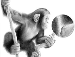 Monkey Pencil Drawing by Stevep67