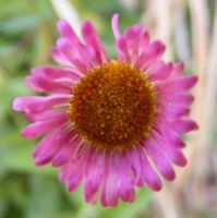 Baby Pink Daisy Macro 1 by Gracies-Stock