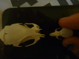 rat and Mouse skull comparison by NoteS28