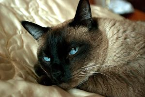 Siamese cat by beavis-one