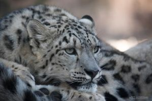 Snowleopard, KA VII by FGW-Photography