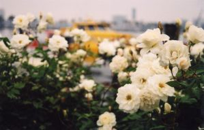 Flowers with Boat in Bckgrnd by bhound89