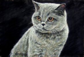 Sophie a British shorthair by DaisyreeB