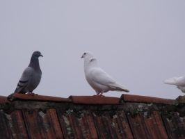 Pigeons on the roof 2/3 by Sadova302b50