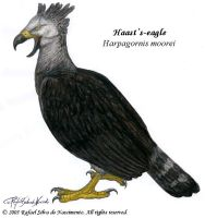 Haast's-eagle by RSNascimento