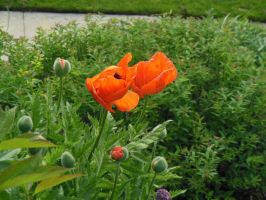 Poppies by FunkyK38