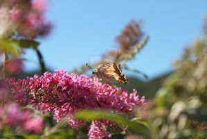 Butterfly on pink flowers by Giuliettadolce