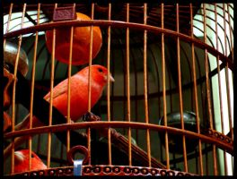 Why Does the Caged Bird Sing? by Ruriel