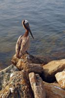 Pelican 1 by stevecliff