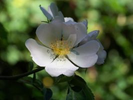 Wild Rose by Gisi118
