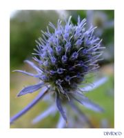 Blue Flower Macro by 121divided121