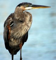 Blue Heron by ericthom57