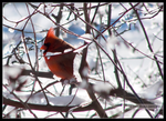 Cardinal in Winter by Mogrianne