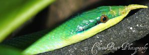 Rhinocerous Rat snake by AngelsSunset