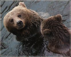 Brown bears2 by Globaludodesign