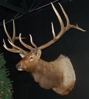 Mounted Elk 3 by SalsolaStock