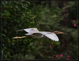 Tricolored Heron 40D0027713 by Cristian-M