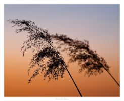 Sunset Reed by AndreasResch