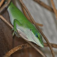Anole 3127 by robbobert