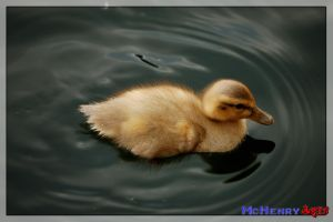 Duckling 3 by mchenry