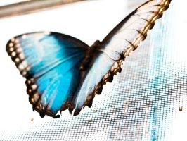 blue morpho by sOLie-photo